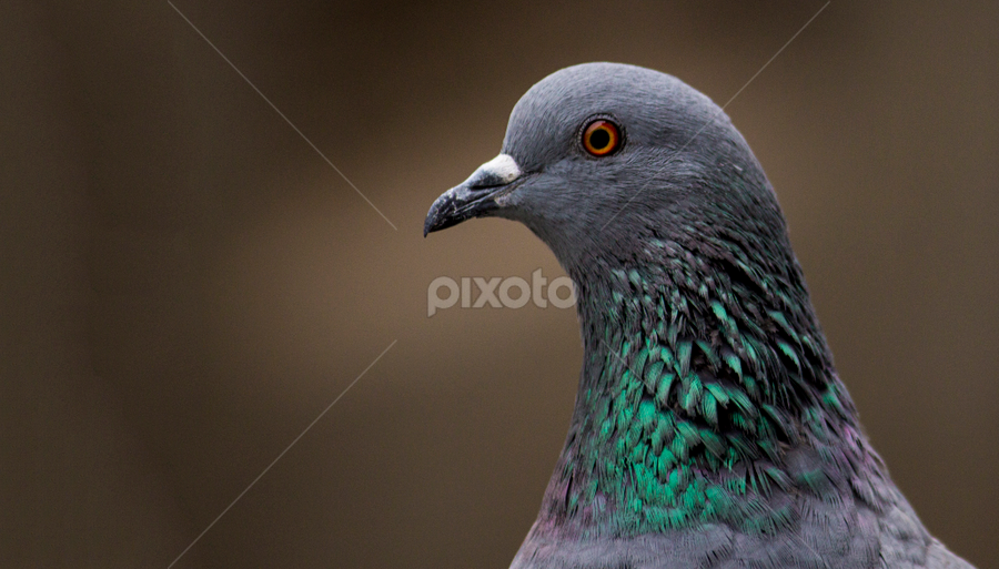 PEACE  by Suman Sengupta - Animals Birds ( pigeon, birds )
