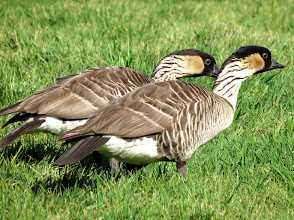 Photo: Hawaii's native goose, the Nene, pronounced Nay-Nay. It is the world's rarest goose.