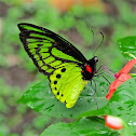 Common Green Birdwing
