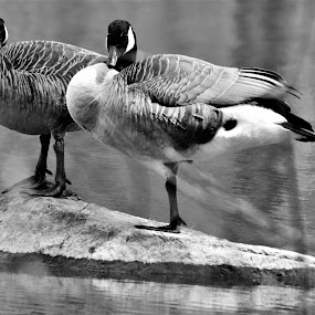 Resting Geese by Brad Lehigh - Animals Birds (  )