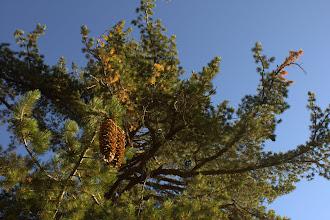 Photo: Sugar Pine