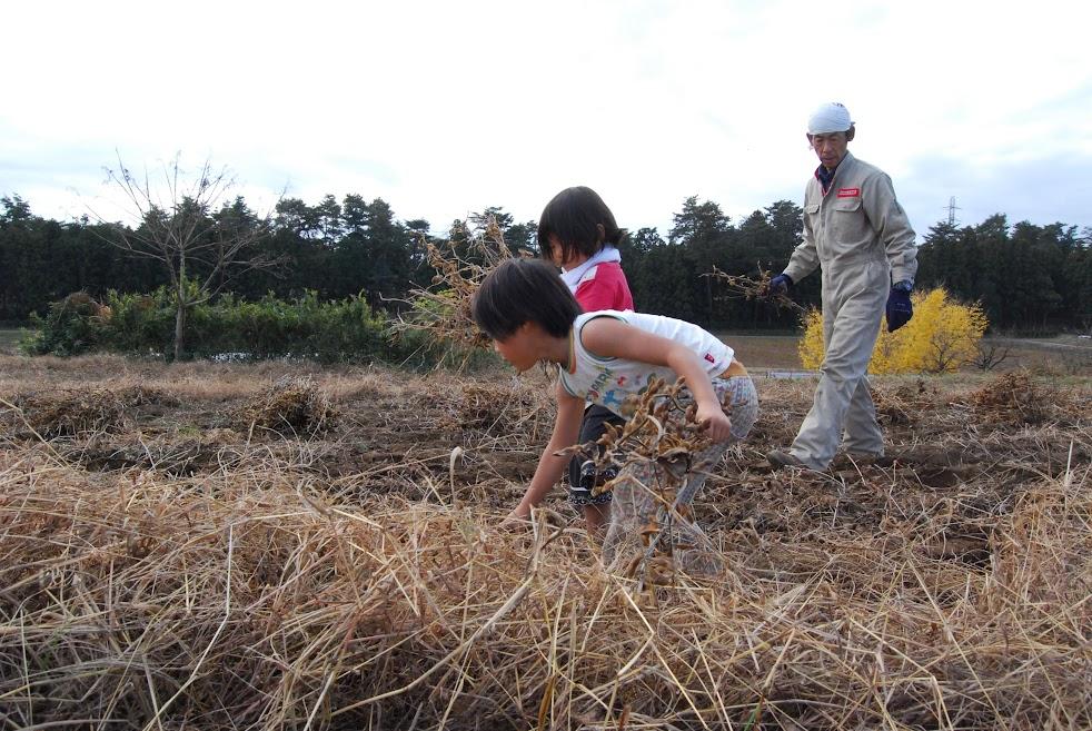 刈った大豆を集めるお手伝い。