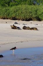 Photo: Oyster Catcher and Sea Lions