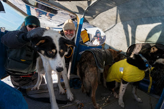 Photo: Pilot Udo Cassee loads dropped dogs into his airplane at the Cripple checkpoint on Friday, March 7, during the Iditarod Sled Dog Race 2014. Dogs that are injured or tired may be left at checkpoints in the care of professional veterinarians. They are then transported to Anchorage for a musher's family or friends or handler to retrieve them where they will then return home.PHOTO (c) BY JEFF SCHULTZ/Schultzphoto.com -- REPRODUCTION PROHIBITED WITHOUT PERMISSION