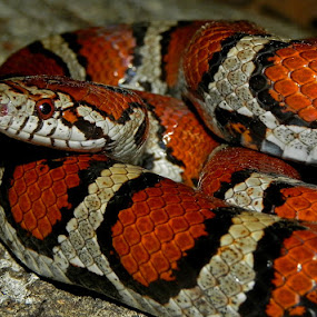 Red x Eastern milk snake (Lampropeltis triangulum syspila x L. t. t.) by Lisa Powers - Animals Reptiles