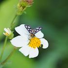 Wasp Moth (A. passalis)