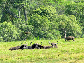 Photo: African Buffalo and  warthog