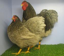 Photo: Award Winning Blue Wyandotte Cockerel and Hen