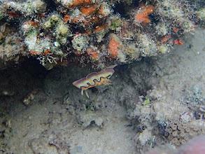 Photo: Chromodoris coi (Nudibranch), Chindonan Island, Palawan, Philippines.