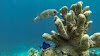 Top. Dive Sites, Kri Island, Raja Ampat, Papua. Porcupinefish