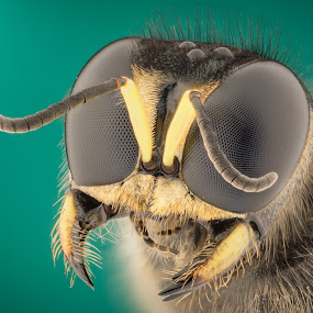 Wasp  by Kutub Macro-man - Animals Insects & Spiders ( macro, extreme, bee, insect, close-up, animal )