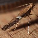 Poplar Caloptilia - 0639