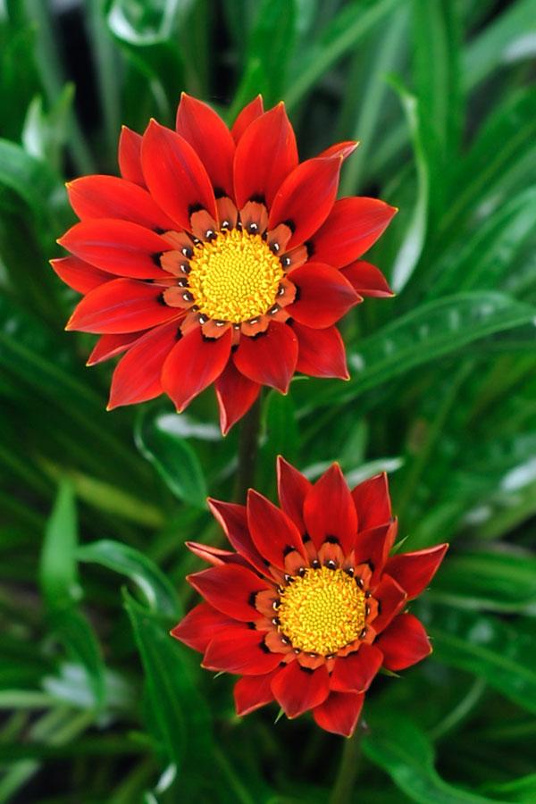duo by Harry Patriantono - Nature Up Close Flowers - 2011-2013