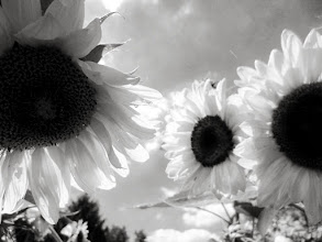 Photo: Black and white photo of sunflowers at Cox Arboretum and Gardens of Five Rivers Metroparks in Dayton, Ohio.