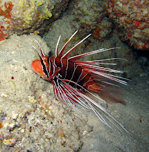 Photo: Clearfin lionfish resting