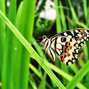 Colorful Butterly by Greg Crisostomo - Animals Insects & Spiders ( butterfly, grass, colorful, meadow, print,  )