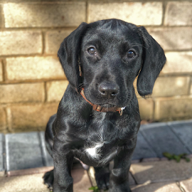 Reggie by Anthony Doyle - Animals - Dogs Puppies ( puppy, black, dog, cute, pet )