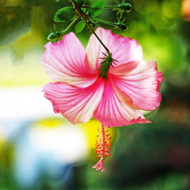 pink hibiscus  by Mary Yeo - Flowers Single Flower