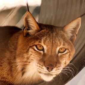 Watching me by Shankara Narayanan - Animals Lions, Tigers & Big Cats ( big cat, cat, safari, panther, animal )