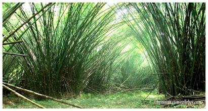 Photo: Ankasa reserve, la réserve d'Ankasa Cathédrale de bambous west coast Ghana