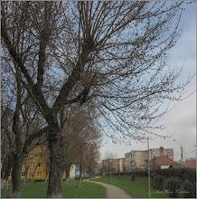 Photo: Artar American (Acer negundo) - Calea Victoriei, parc in Mr.1 - 2018.04.05