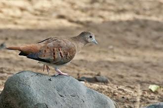 Photo: Blue Ground-Dove