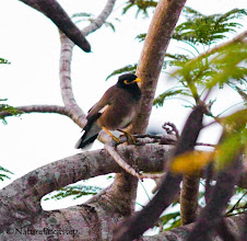 Photo: Common Myna - Acridotheres tristis © NF Photo 140907, Cassowary House, Queensland Australien http://nfaubird.blogspot.se/2014/12/common-myna-acridotheres-tristis.html