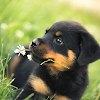 Rottweiler New HD Fonds d'écran