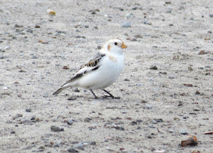 Photo: Snow bunting on Broughton beach