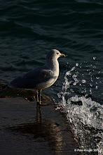 Photo: Just what it is, seagull Big Bay Beach jetty (actually, watermark test)
