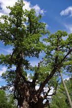 Photo: Stelmužės ąžuolas