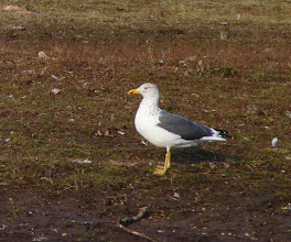 Photo: A Lesser Black-backed Gull I found this afternoon at Donaldson Park...