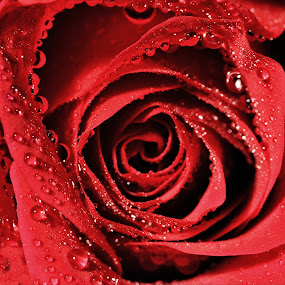 Wet Red Rose by Brian Wilson - Nature Up Close Flowers - 2011-2013 ( water, petals, reflections, d3200, beauty, rose, refreshing, macro, red, roses, drops, nikon, flower, closeup )