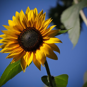 Sun Sun Sunflower by Cristina Casati - Nature Up Close Flowers - 2011-2013
