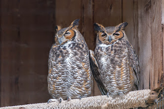 Photo: Great Horned Owls; Audubon Center for Birds of Prey
