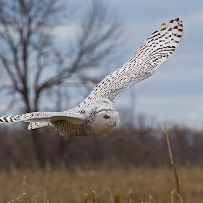 Snowy Owl in Flight by Bill Diller - Animals Birds ( birds of prey, owl, michigan, snowy owl, marshes )