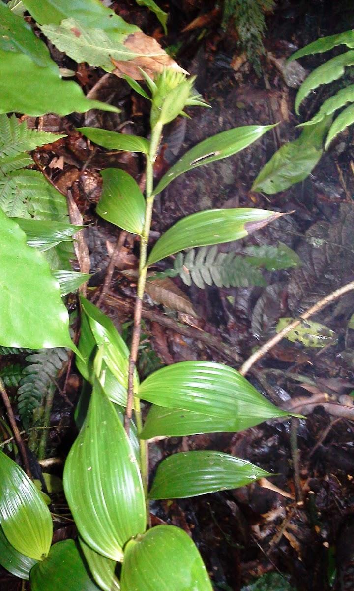 elleanthus cynarocephalus