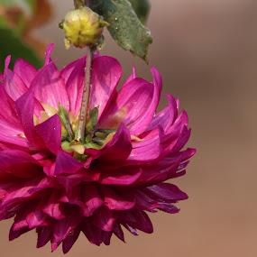 Pink flower by Abhisek Datta - Flowers Single Flower ( pink, rooftop, flower )