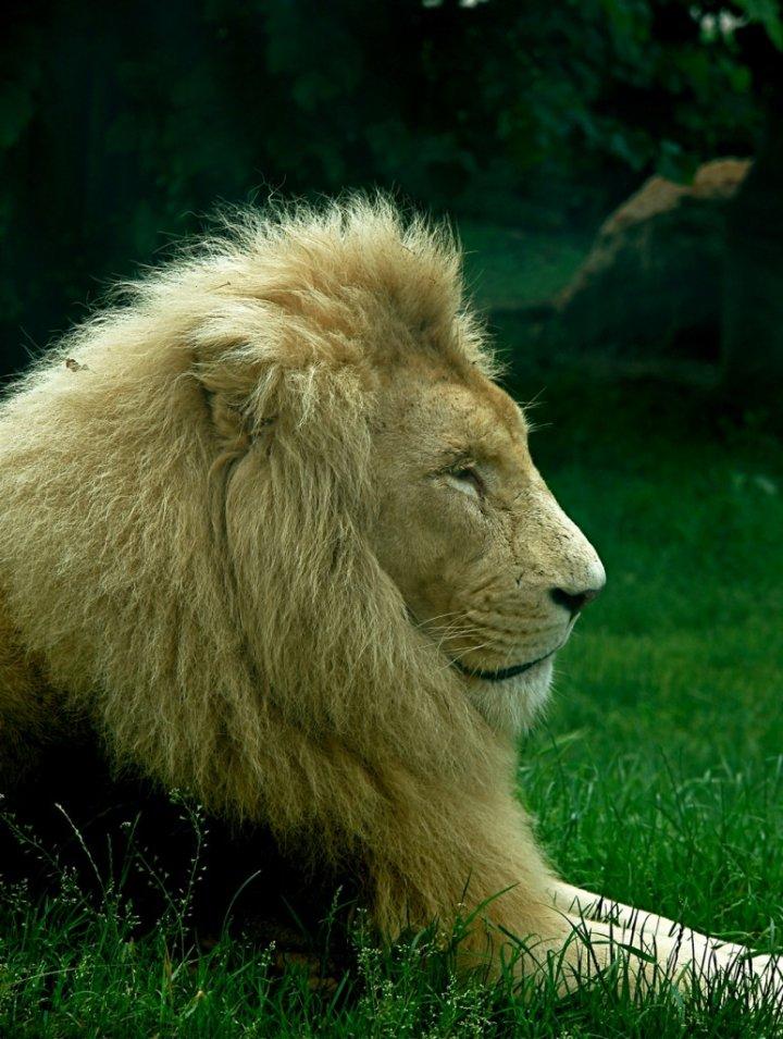 Lazy lion di zophe