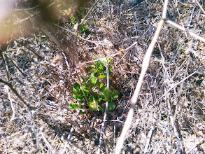 Photo: Another oak seedling. Some spring weeding and a few cages, and in five years these seedlings will be able to survive on their own.