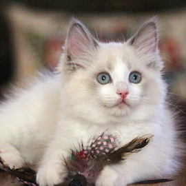 Rag Doll Kitten by Barbara Suggs - Animals - Cats Portraits