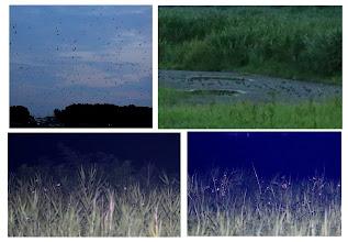 Photo: 撮影者:福本 健 ツバメ タイトル:どこから来たのかな 観察年月日:2015年7月24日 羽数:約3万羽 場所:多摩川の谷地川との合流付近の左岸に近い河原(日野市) 区分:行動(ねぐら入り) メッシュ:立川0C コメント:ねぐらの位置がほぼ特定できたので、渡辺仁さん、若狭さんと塒の近くの河原でツバメを待った。18時50分ごろからツバメが増え始める。一部は地面に下りたり跳んだりを繰り返す。19時15分ごろドンドンヨシにねぐら入りするが、上空にどんどん集まってくる。ヨシに止まれないツバメは昨年のヨシやオオブタクサなどの枯枝に止まる。一部の写真は渡辺さんの機材を使って撮影した。なお、河原までのきちっとした進入路はなく、当面は右岸の土手のうえからの観察か?