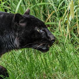 Leopard by Garry Chisholm - Animals Lions, Tigers & Big Cats ( nature, mammal, black leopard, big cat, garry chisholm )