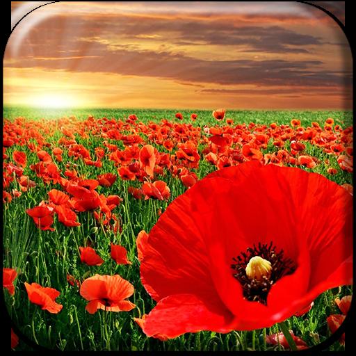 Red poppy live wallpaper google playd ttbiqlr mightylinksfo