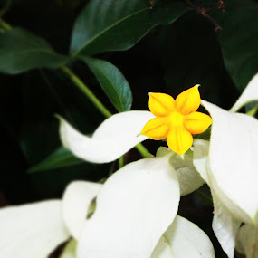 white yellow by Wanamex Iwan - Nature Up Close Flowers - 2011-2013 ( flower, nature, flowers )