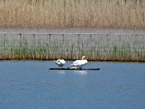 Photo: Hattyú-páros - Poroszló - Tiszató Swan-doubles - Poroszlo - Lake Tisza
