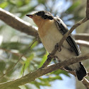 Paperbark Flycatcher (immature)