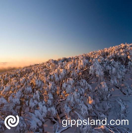 Snow gums on summit of Mt Baw Baw