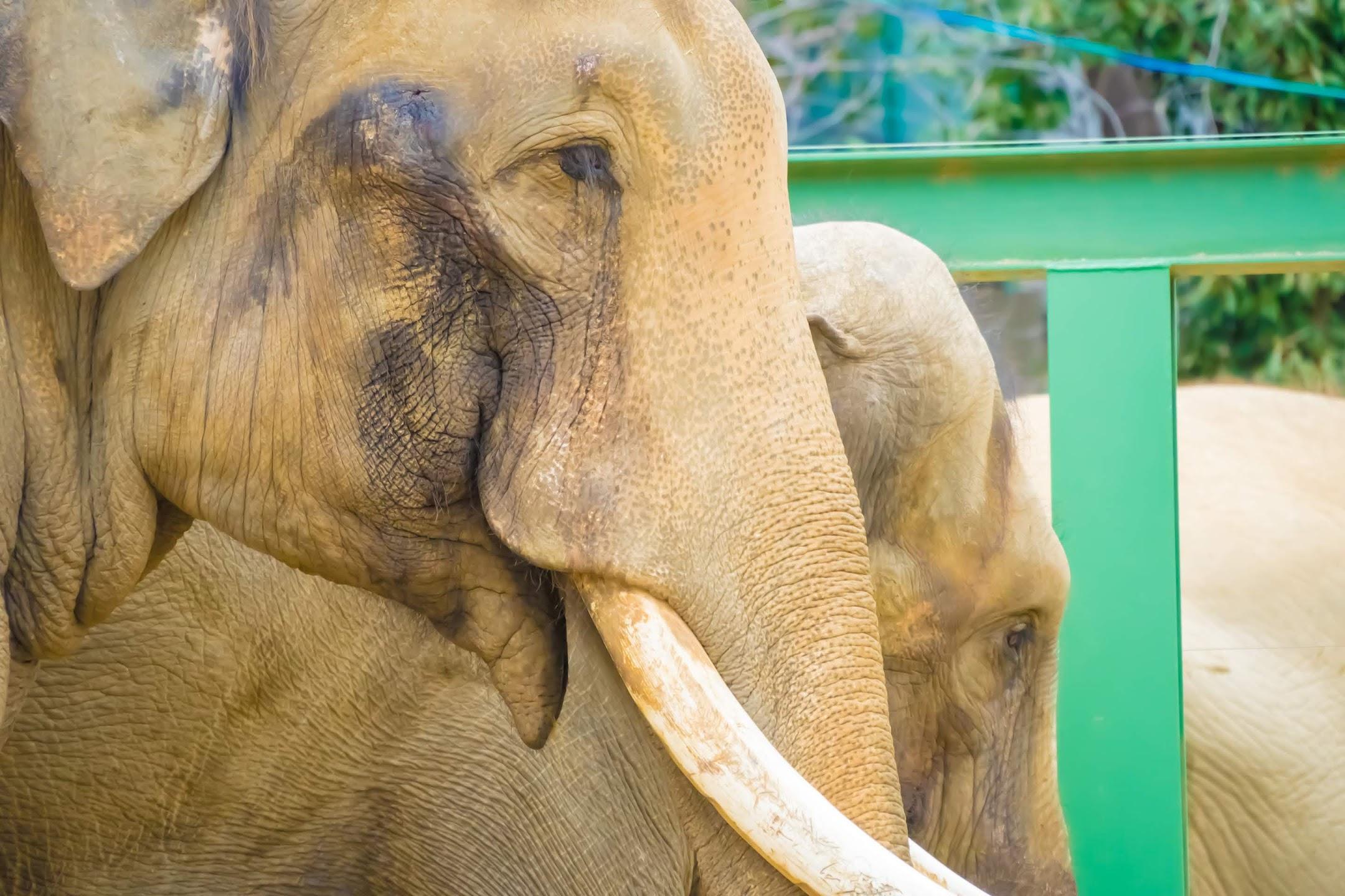 Kobe Oji Zoo Elephant3