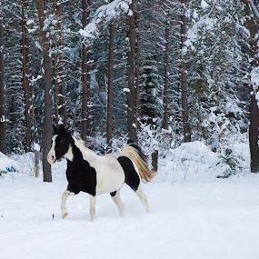 Running Horses by Anita Atta - Animals Horses ( galloping, winter, horses, snow, running, tennessee walkers,  )